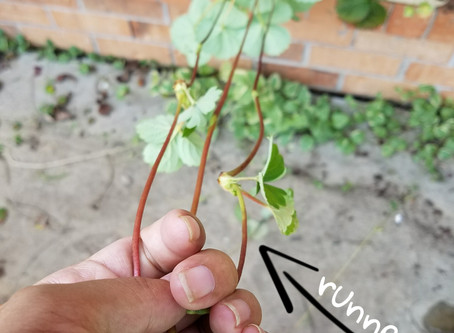 How to get more out of your strawberry plant - runners