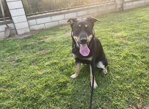 Roxy | Rottweiler Mix | Canoga Park, CA | In-Training