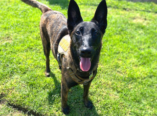 Remington | Dutch Shepherd | Bellflower, CA | In-Training