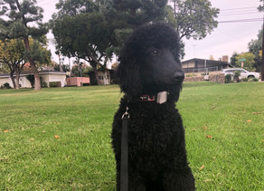 Chula | Standard Poodle | Los Angeles, CA | In Training