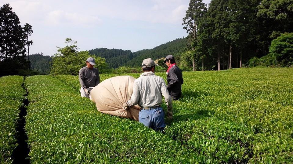 Thé vert japonais ukiha