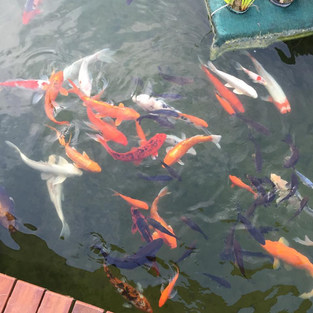 KOI FISH IN CLEAR WATER
