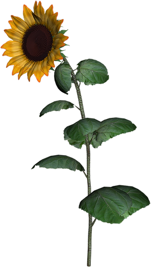 Sunflower Clipart png