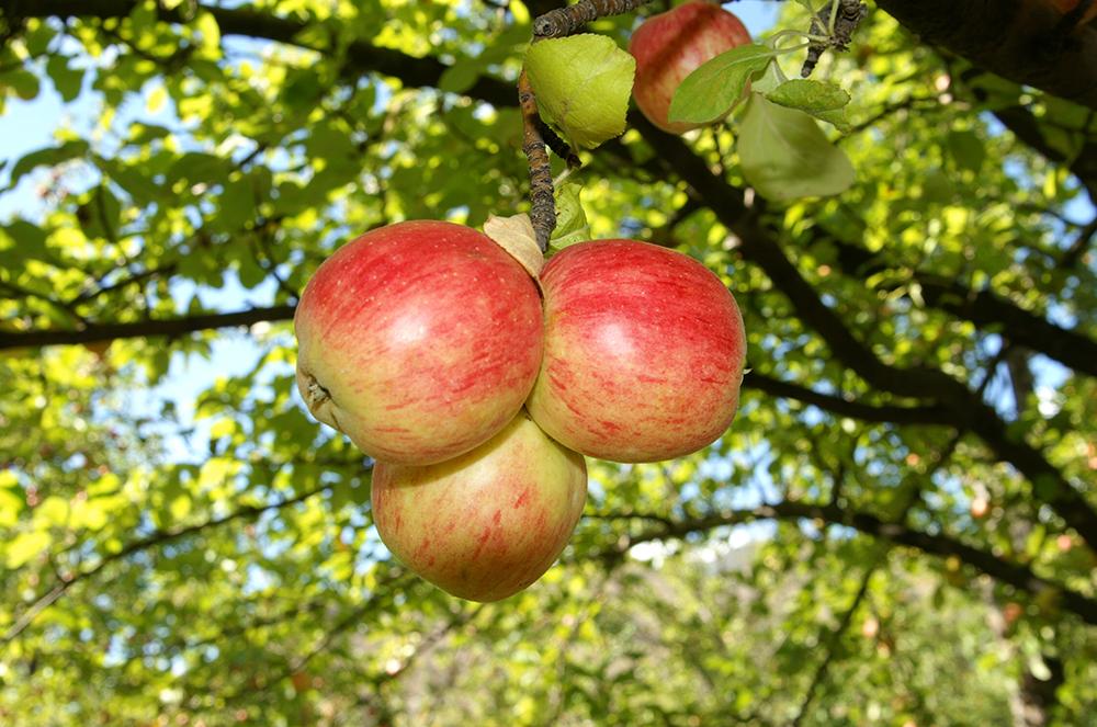 Gümüşhane Elması