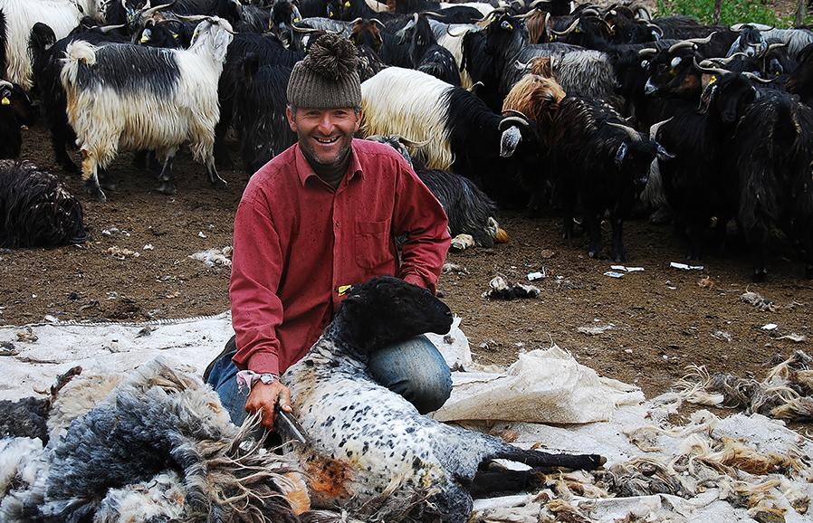 Koyun Kırkımı