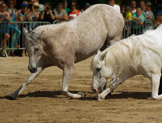 dressierte Pferde