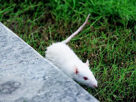Von weißen Mäusen und bedingungsloser Liebe.