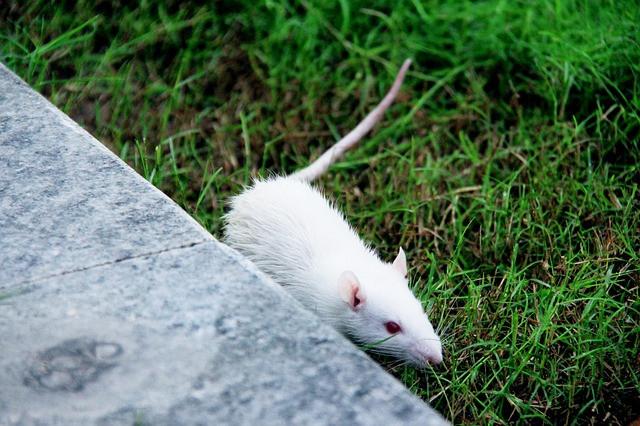 Weiße Maus auf Abwegen