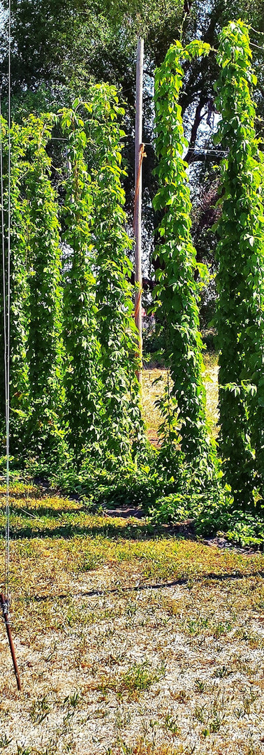 Dragons Gate Brewery Hops