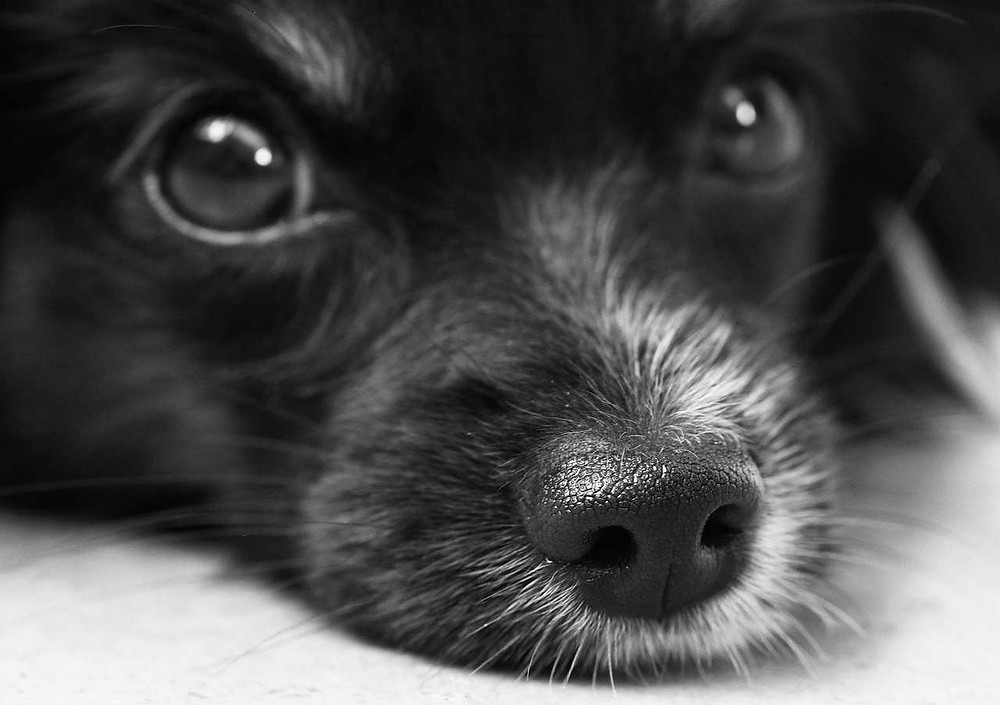 Black dog looking at camera with cute nose.