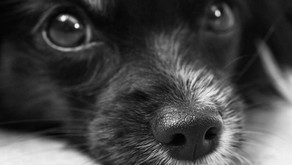 Dogs Can Be Identified by Their Noseprints