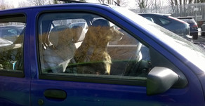 Dogs in Hot Cars and on Hot Pavement