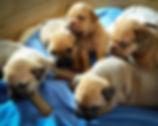 puppy-dog-cute-pet-young-mammal-569822-p