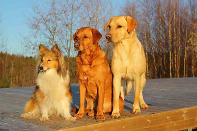 dog-mammal-dogs-golden-retriever-friends