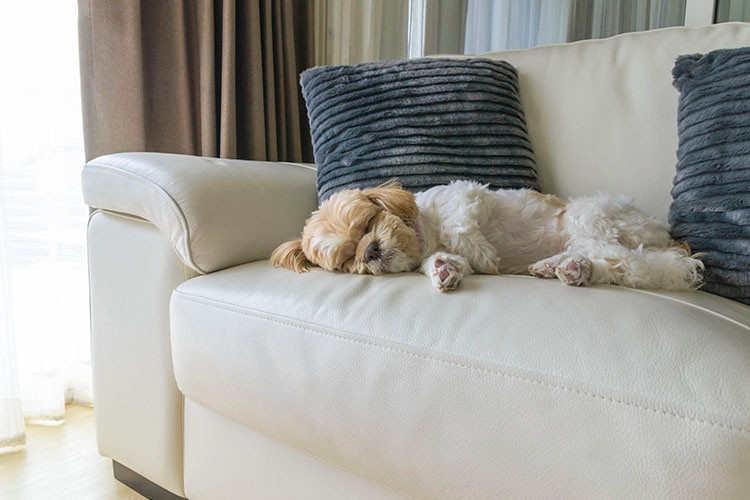 Dogs love sleeping on soft furniture