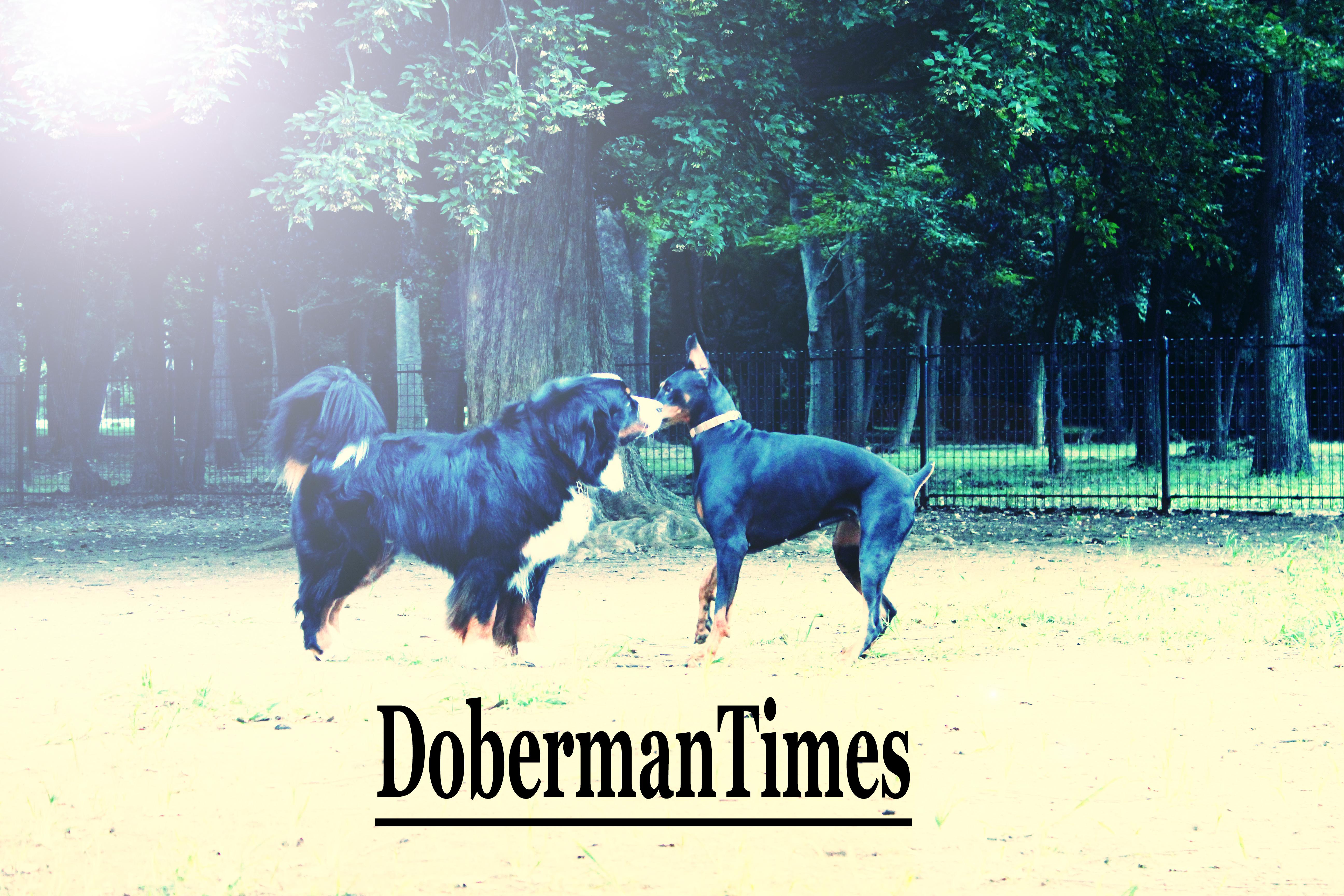 DobermanBlack