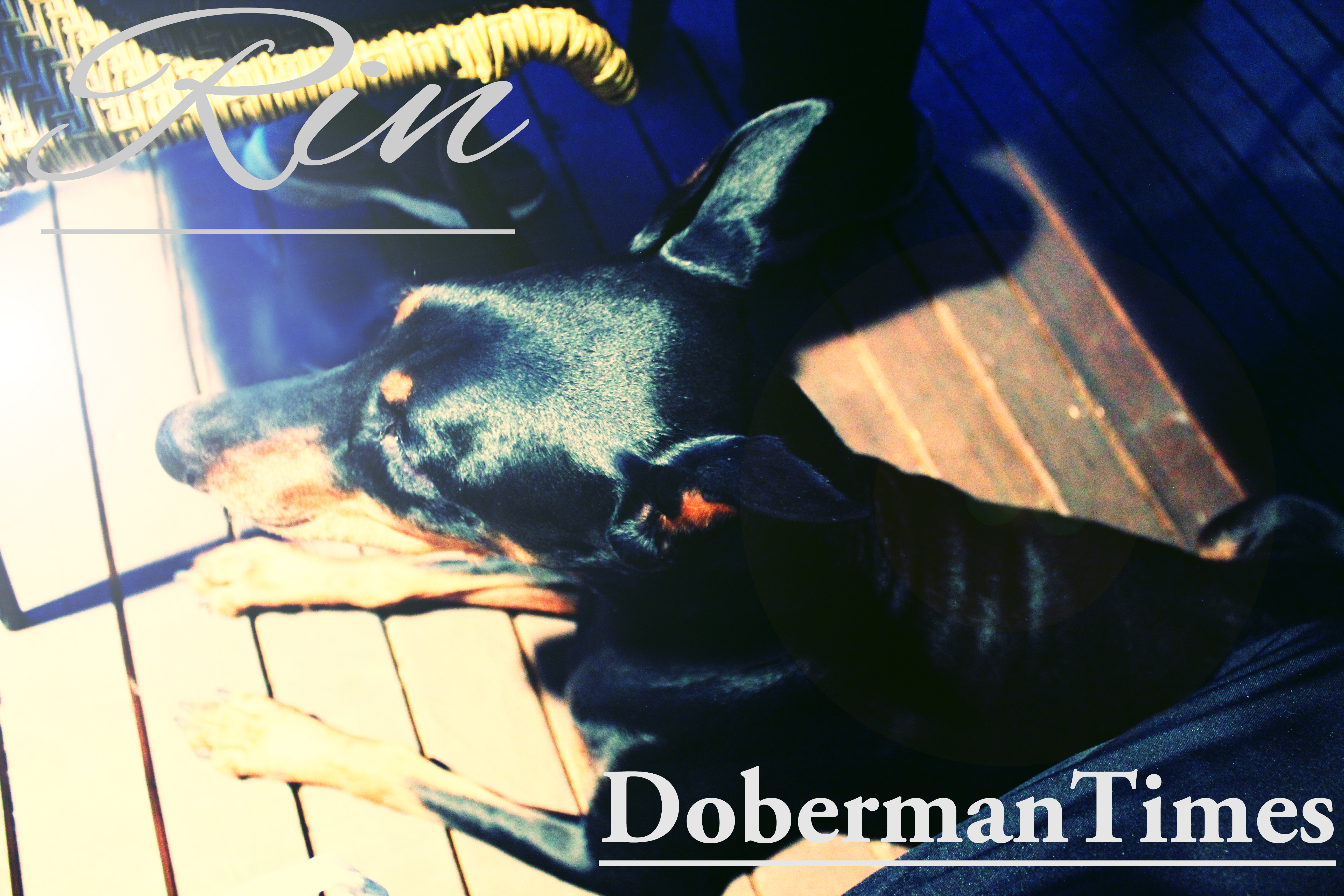 Doberman Black♀・8ヶ月