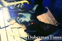 Doberman Black♀・8ヶ月