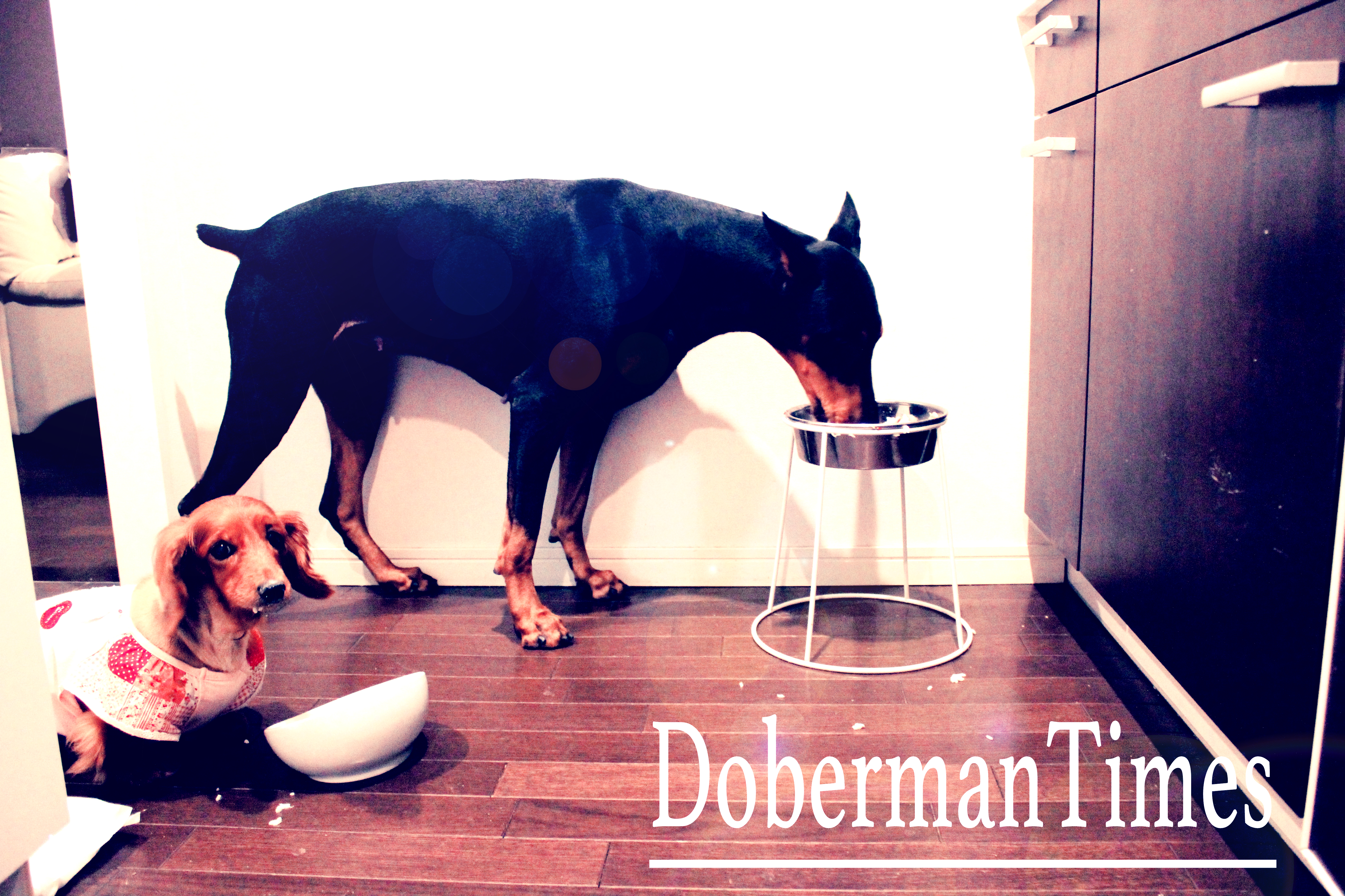 Doberman2歳・♀&M.Dachshund16歳・♀