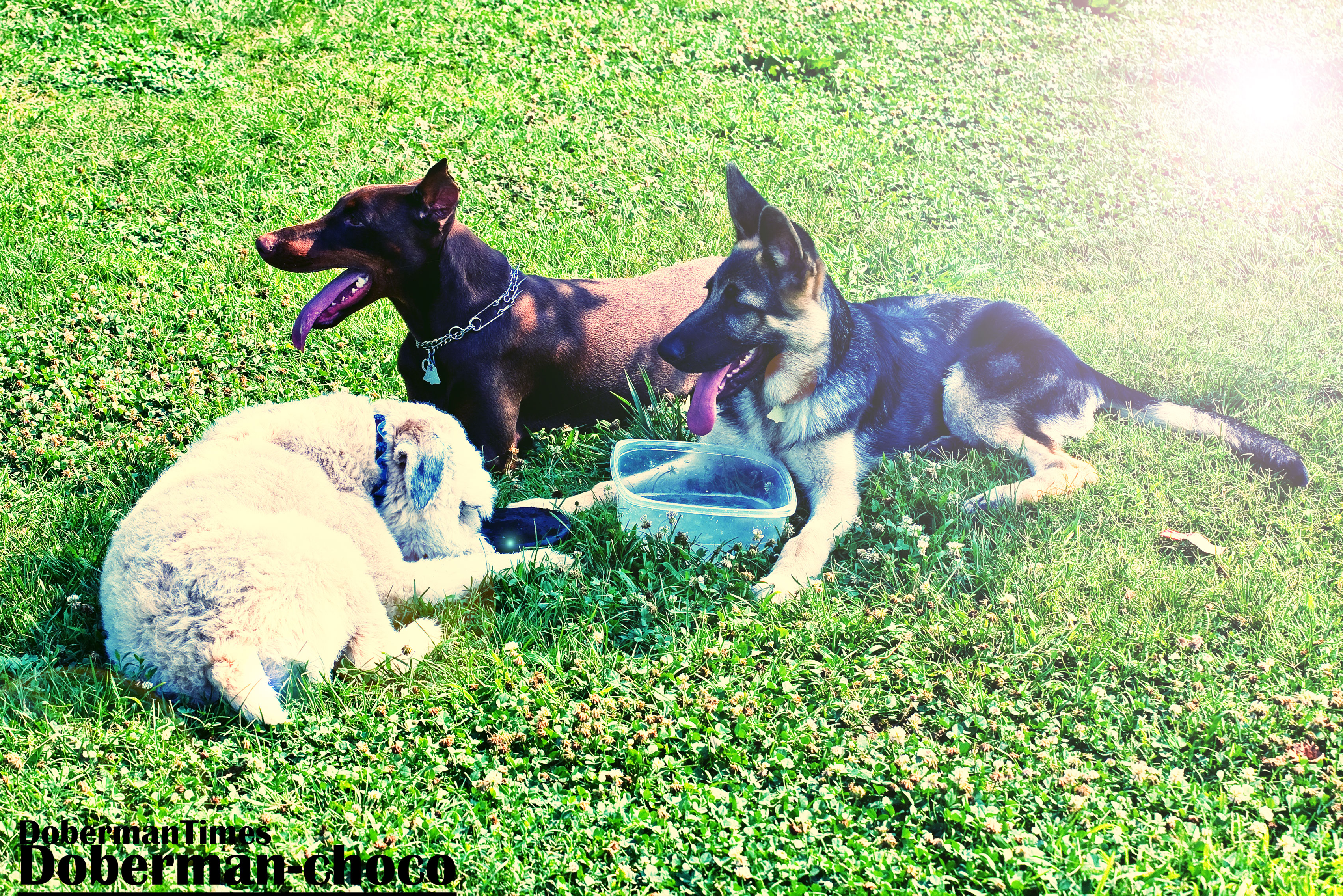 3dogs-doberman-choco