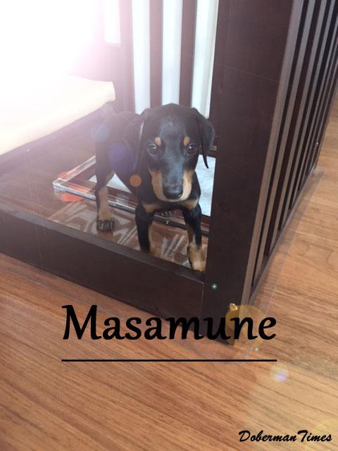 Masamune(♂・2ヶ月)
