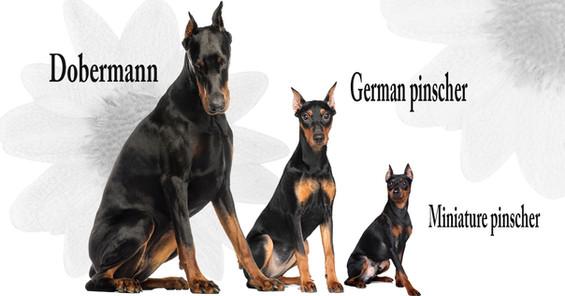 ドーベルマンにそっくりな5種の犬種