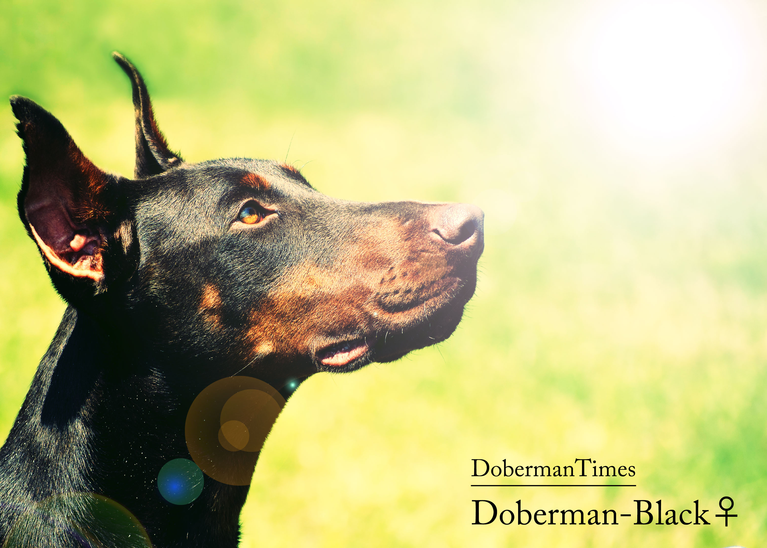 Doberman-Black♀