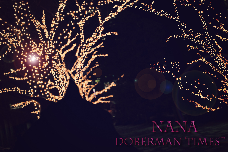 DobermanBlack♀