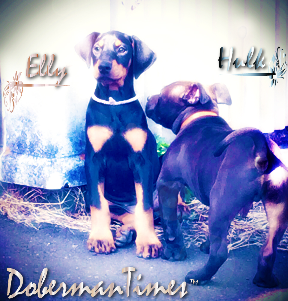 Doberman(♀)&PitBull(♂)