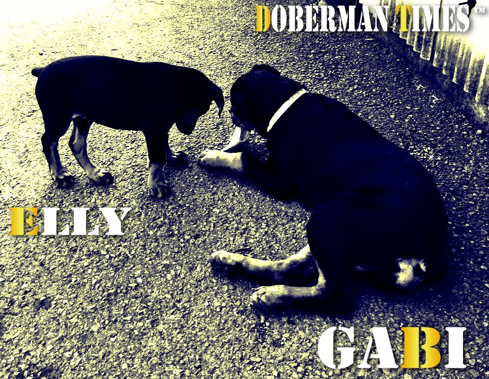 Doberman(♀)&Rottweiler(♀)