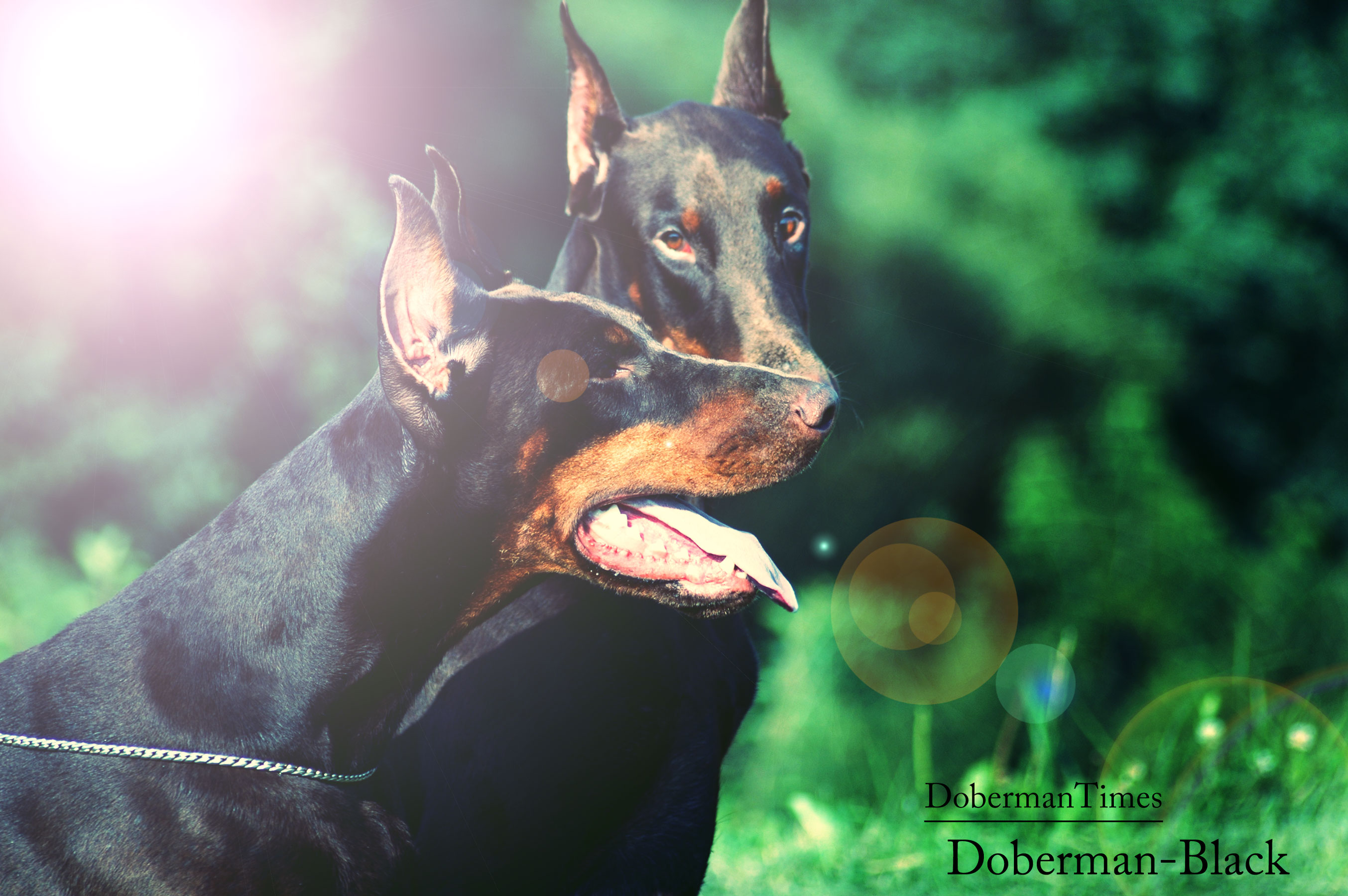 2Doberman-Black