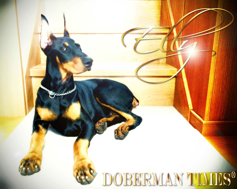 DobermanBlack(♀)