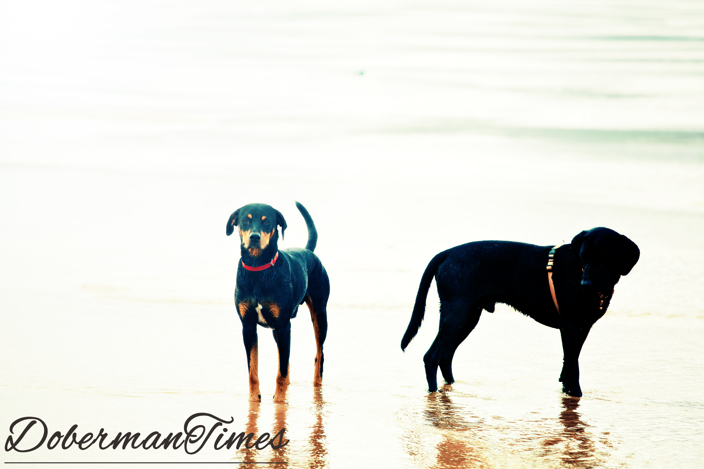 BlackDoberman.Retriever