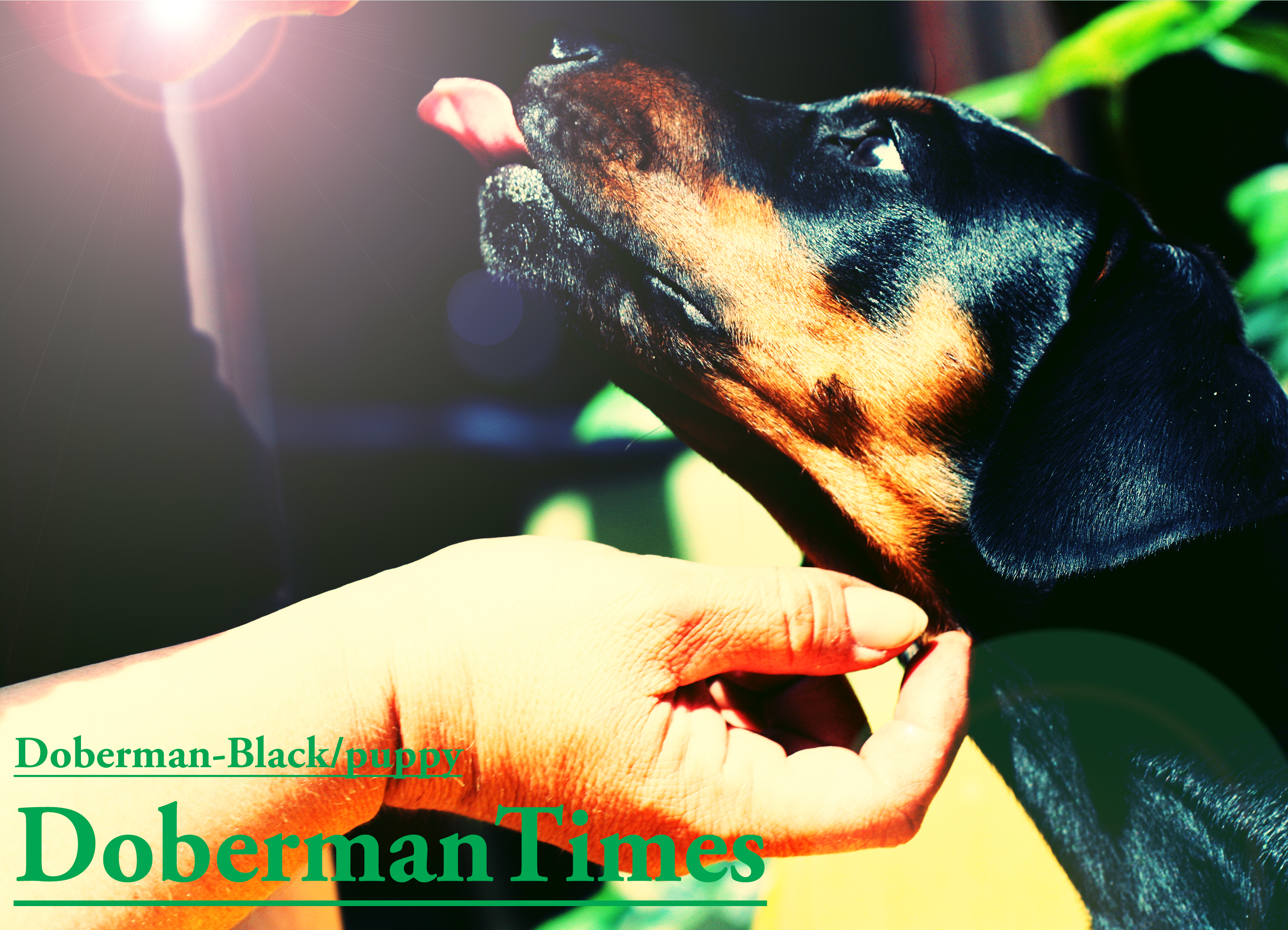 Doberman-Black/puppy