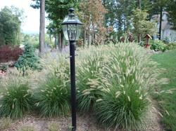 Dwarf Fountain Grass Hameln 3.jpg
