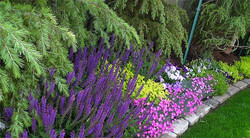Dianthus and Salvia