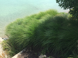Maiden Grass massing
