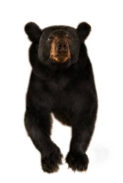 Bear 1/2 Size Walk Out