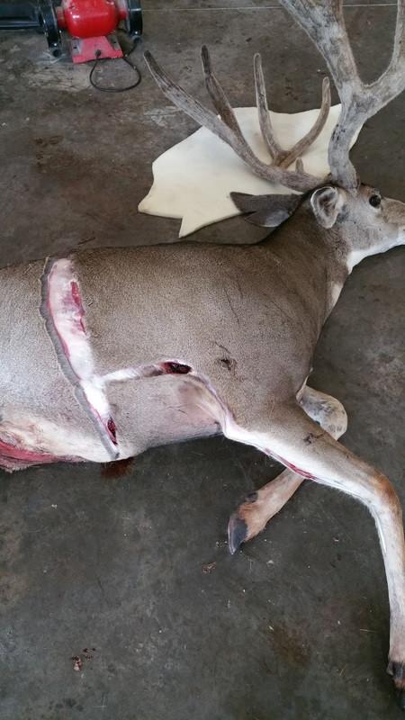 How To Skin / Cape a Deer for Shoulder Mount