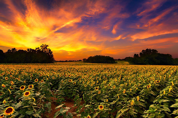 Kansas-SunflowerSunset.jpg