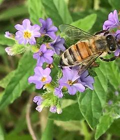 NC Honey Bees.png