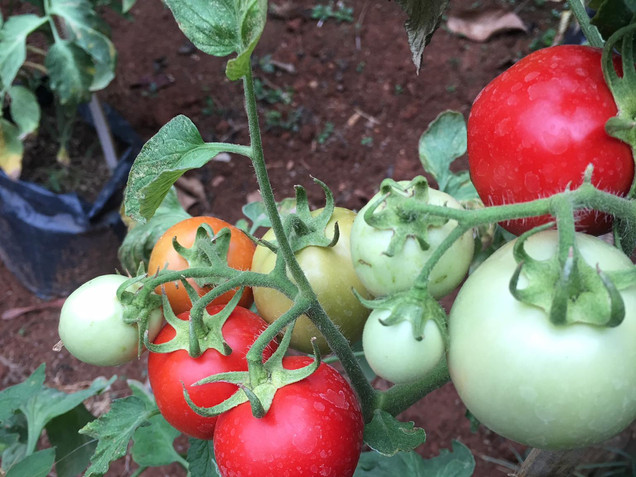Doi Isara - Tomatoes from the garden