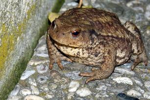 toad 4 Pixabay -405121.jpg