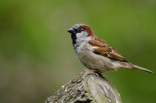 Sparrow 1 M dreamstime_xxl_85257893.jpg