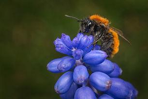 tawny mining bee 2 TRIAL dreamstime_xxl_