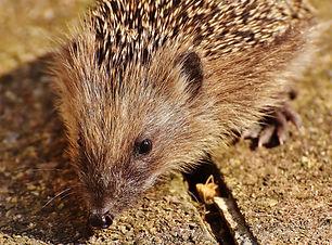 Hedgehog 2 dreamstime_xxl_83076168.jpg