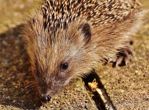 Hedgehog 2 dreamstime_xxl_83076168.jpg