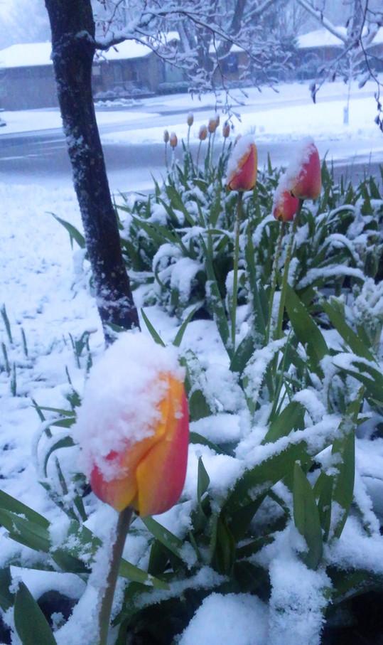 Snow on my Tulips