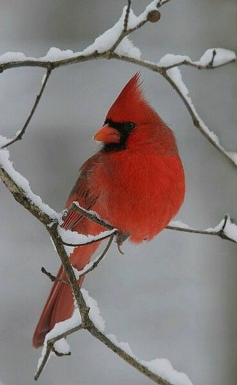 1-cardinal pic_edited.jpg