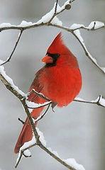 1-cardinal pic.jpg